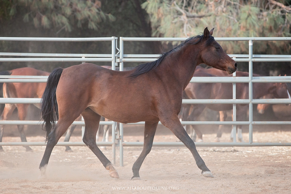 Sex: Mare  DOB: Senior  Height: 14.3 (est.) Color/Breed: Bay/Arabian  Adoption Fee: $450 Category:  Ready for Training