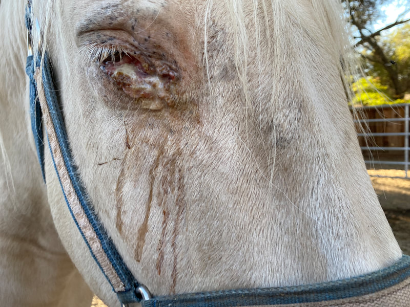 Ralphie's eye is painful and drains constantly. Here it is before treatment.
